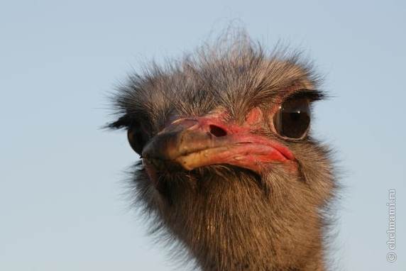 Have a fun and exciting experience at an ostrich farm